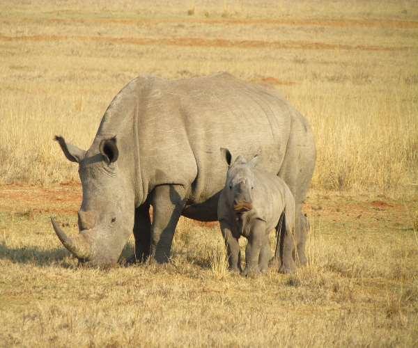 mamãe-rinoceronte-bebê