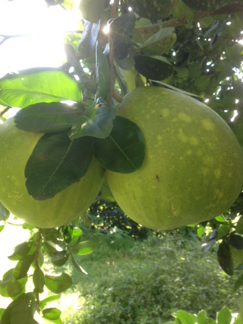 Large fruit on Pomelo