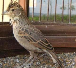 Burung Branjangan - Mengenal Lebih Dekat Burung Branjangan yang Menjadi Lagu yang Wajib Unruk Burung Lomba