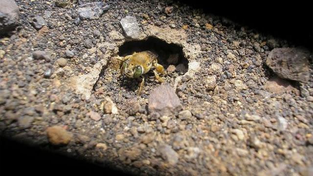Σπάνιο είδος μελισσών ζει σε ενεργό ηφαίστειο!