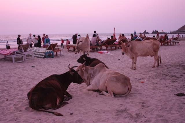 Коровы в Гоа на пляже Арамболя