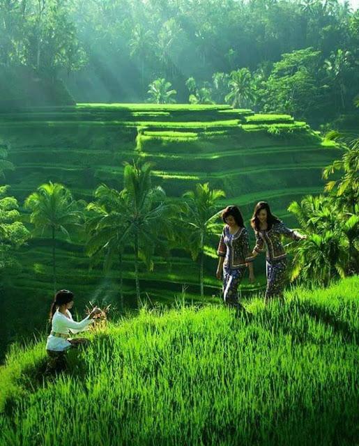 Pemandangan Sawah di Desa Gadis Cantik Melangkah di sela Padi Hijau