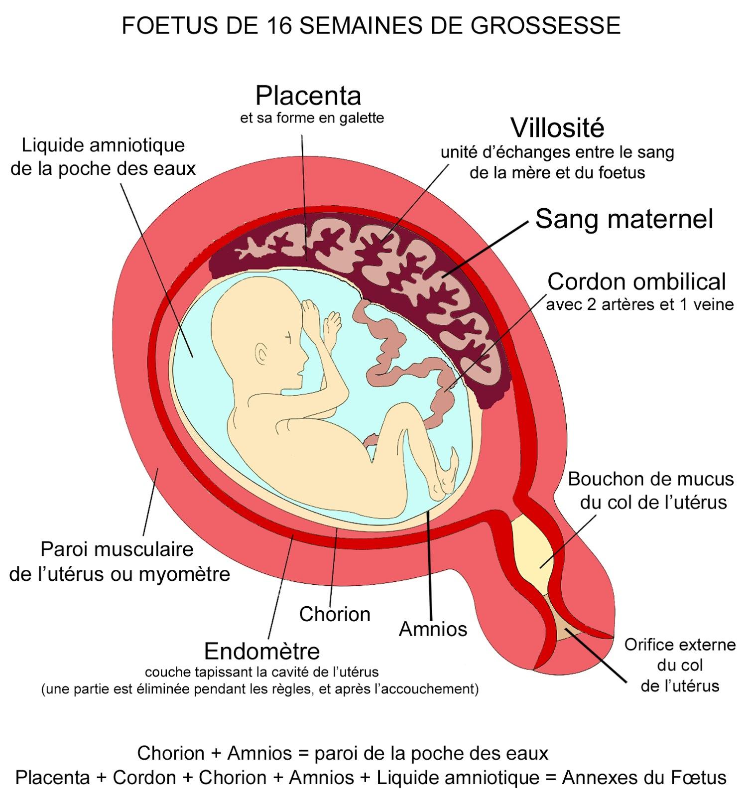 Le degré de maturation du placenta par semaine (tableau)