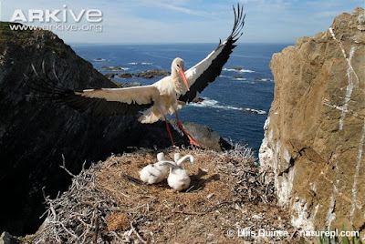 White Stork chicks