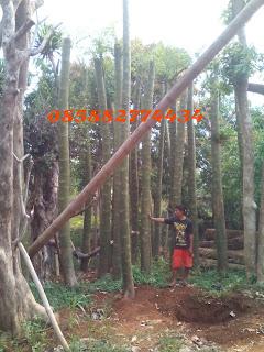 Tukang taman menjual pohon solobium murah
