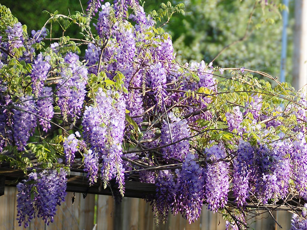 Jackie coleman author blogger wisteria for The wisteria