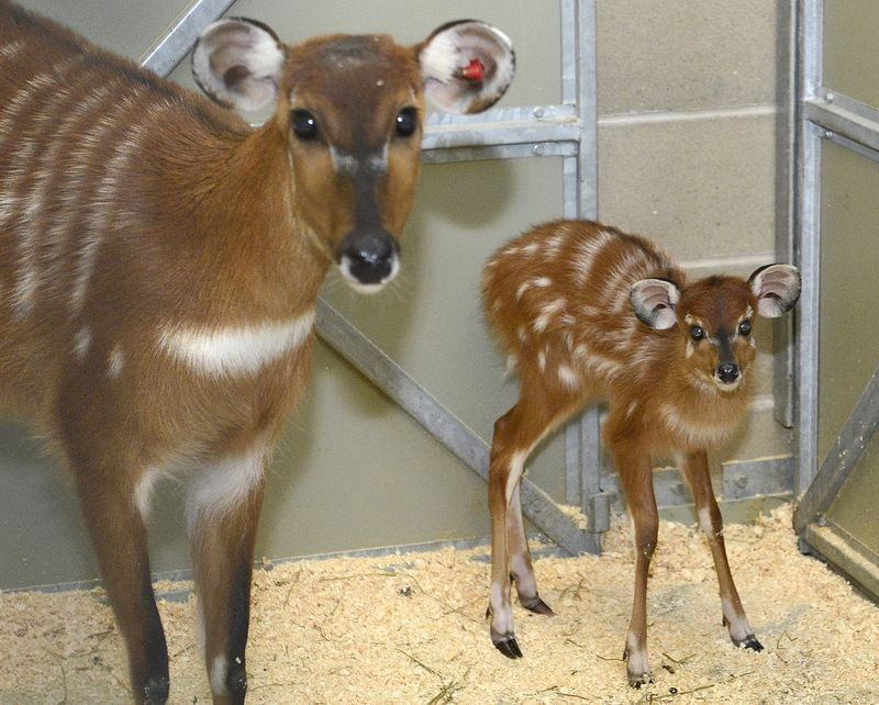 Baby Animals: Sitatunga Calf 4