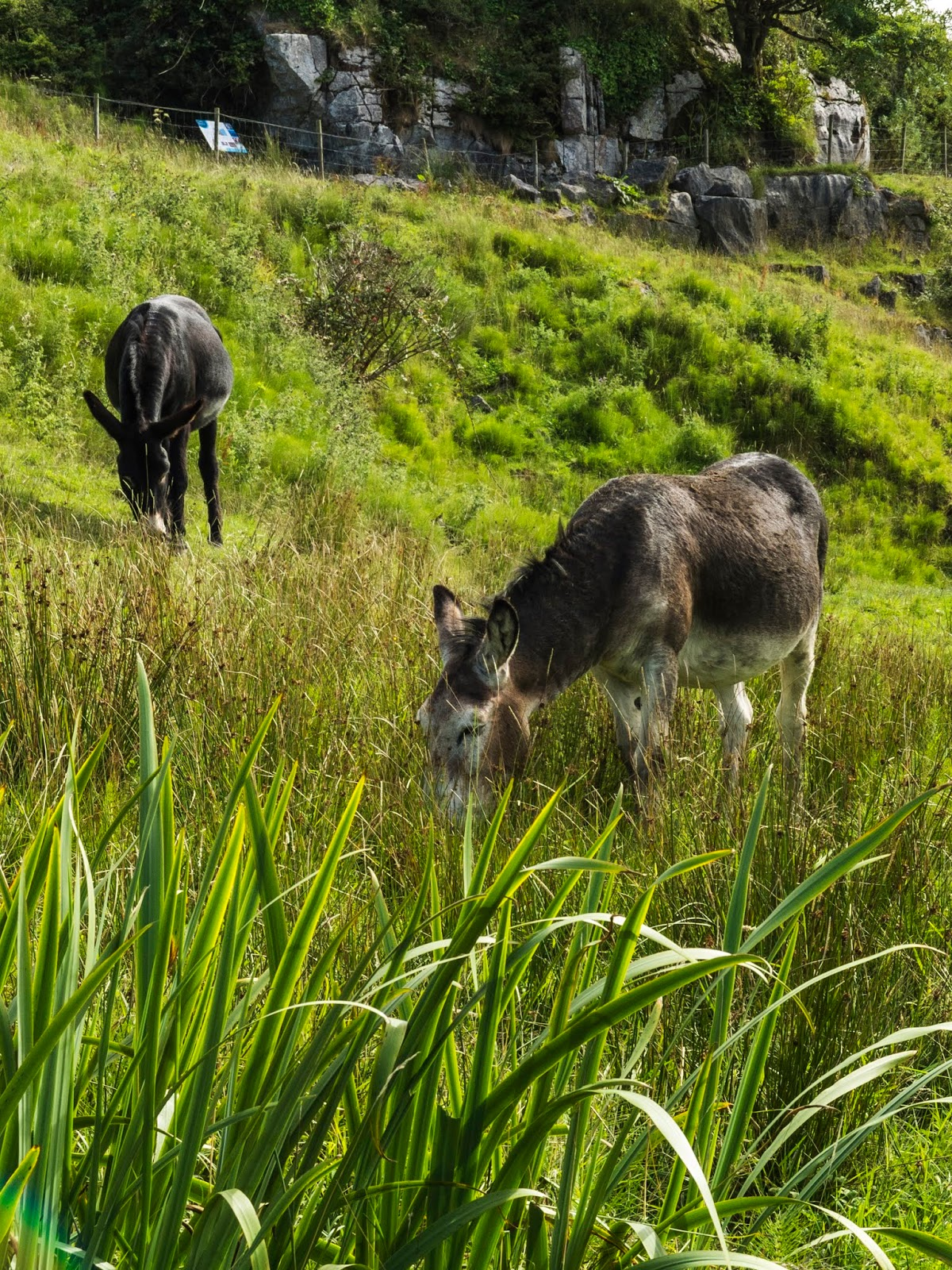 Donkeys grazing on a hillside in Doolin, County Clare on a sunny day.