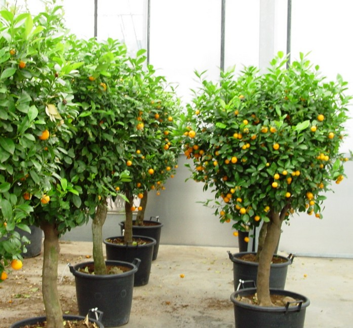 Jeruk Kumquat, Tabulampot Aromatik Orange Blossom