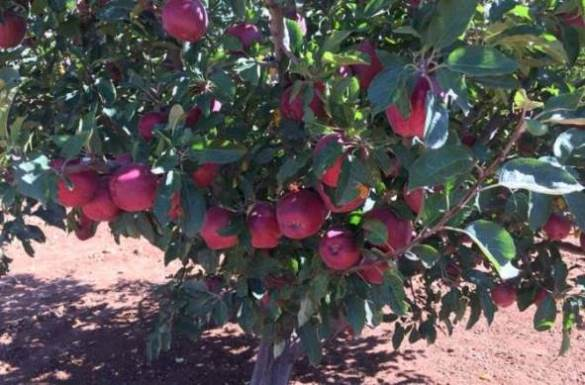 البدء باستقبال محصول التفاح من المزارعين في السويداء.
