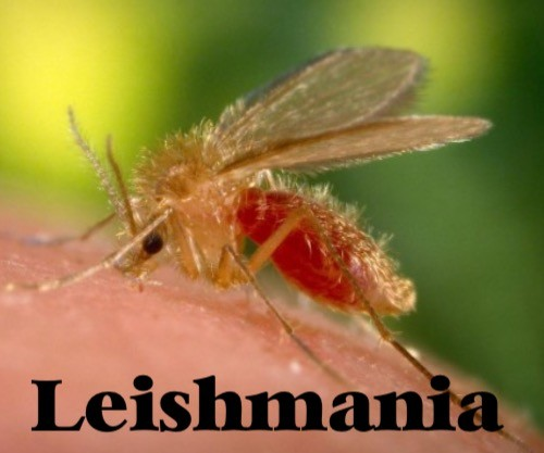 Leishmaniosis - mosquito de leishmania