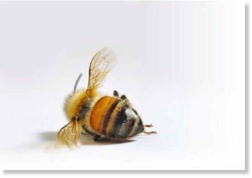chaos global les abeilles officiellement reconnues comme esp ce en voie de disparition. Black Bedroom Furniture Sets. Home Design Ideas