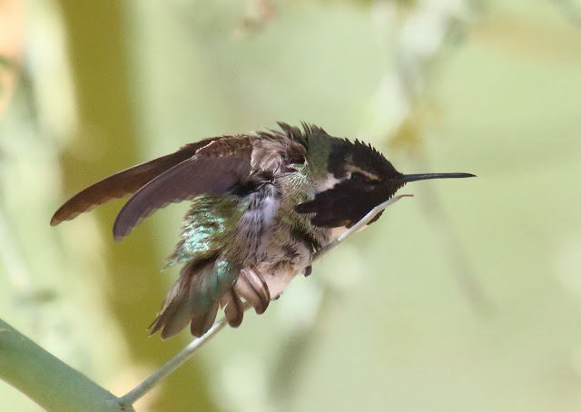Costa's Hummingbird stretching