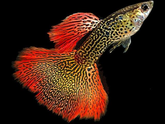Dunia Ikan Hias - GUPPY COBRA
