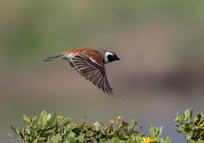Cape Sparrow : Table Bay Nature Reserve / Woodbridge Island