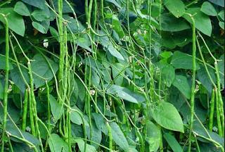 Khasiat kacang panjang untuk kesehatan