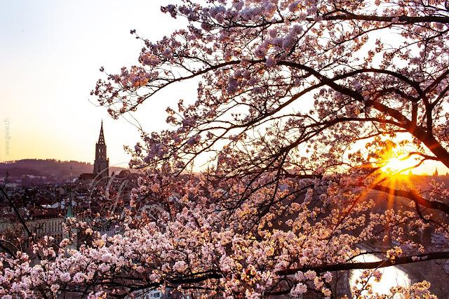 rosengarten, bern, bärn, i love switzerland, cherryblossom