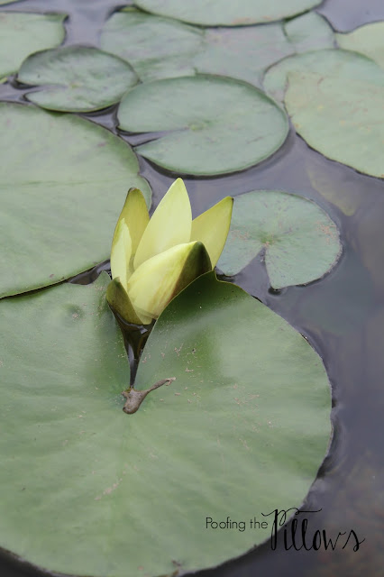 water lilies, perennial, water gardens, backyard ponds