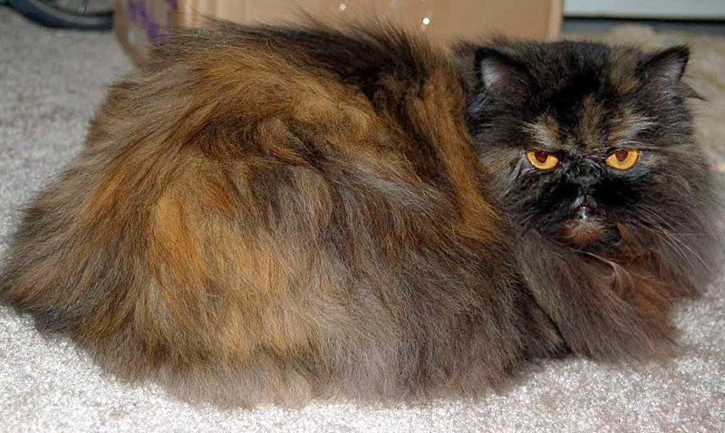Cat Lucky Persian Cat Breed