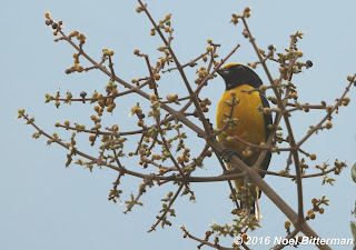 Orange-crowned Euphonia