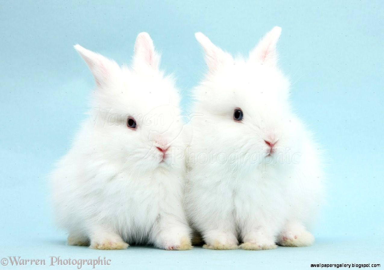 Fluffy White Baby Bunnies | Wallpapers Gallery
