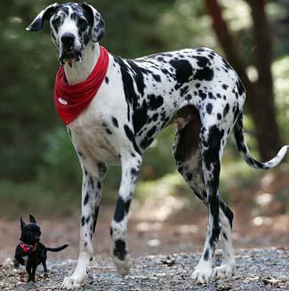 Perro chihuahua y perro muy grande