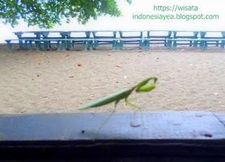 seekor-belalang-di-pantai-Kencana-Sumbawa.jpg