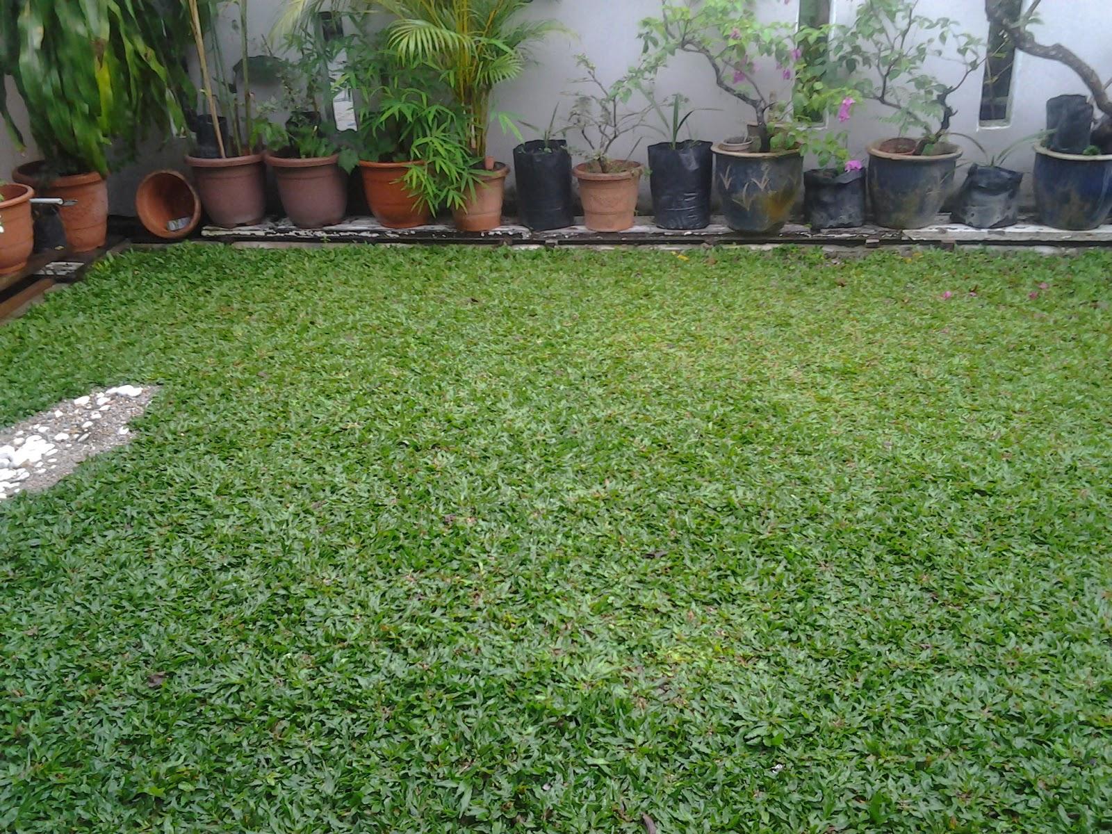 Terbaru 33 Cara Menanam Rumput Mutiara Cara menanam rumput mutiara