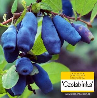 Owoce jagody kamczackiej odmiany Czelabinka