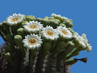 Kaktus Astrophytum dan Suguaro Yang Menakjubkan - munsyafandi.com