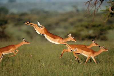 gazelle running from lion - photo #16