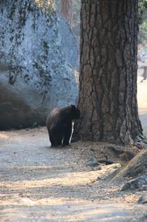 Orsetto avvistato sul Valley Trail allo Yosemite National Park