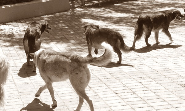 През 80-те хайки от ловци са наети да отстрелват  бездомните кучета в София