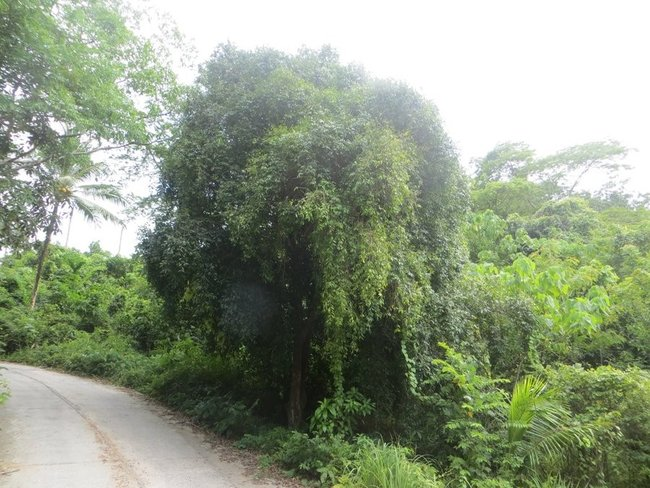 пышное дерево