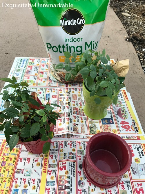 Transplanting Mini Roses on newspaper with potting soil bag in background