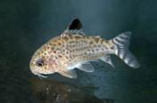 Jenis Ikan Corydoras cruziensis