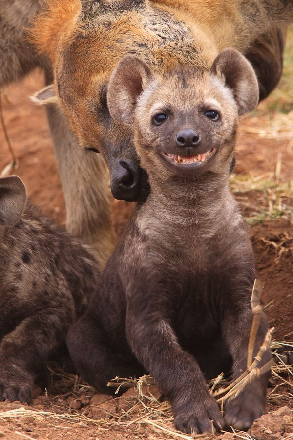 Spotted hyaena cub smiling
