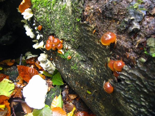 小さなナメコの幼菌