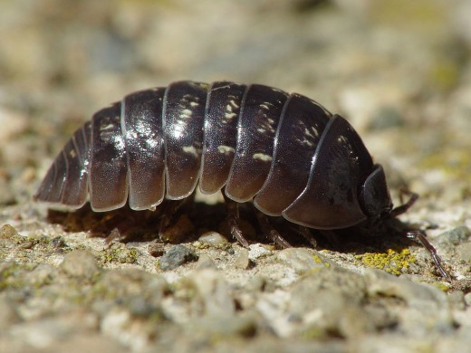About What Do Rolly Pollies Eat - The Shocking Truth