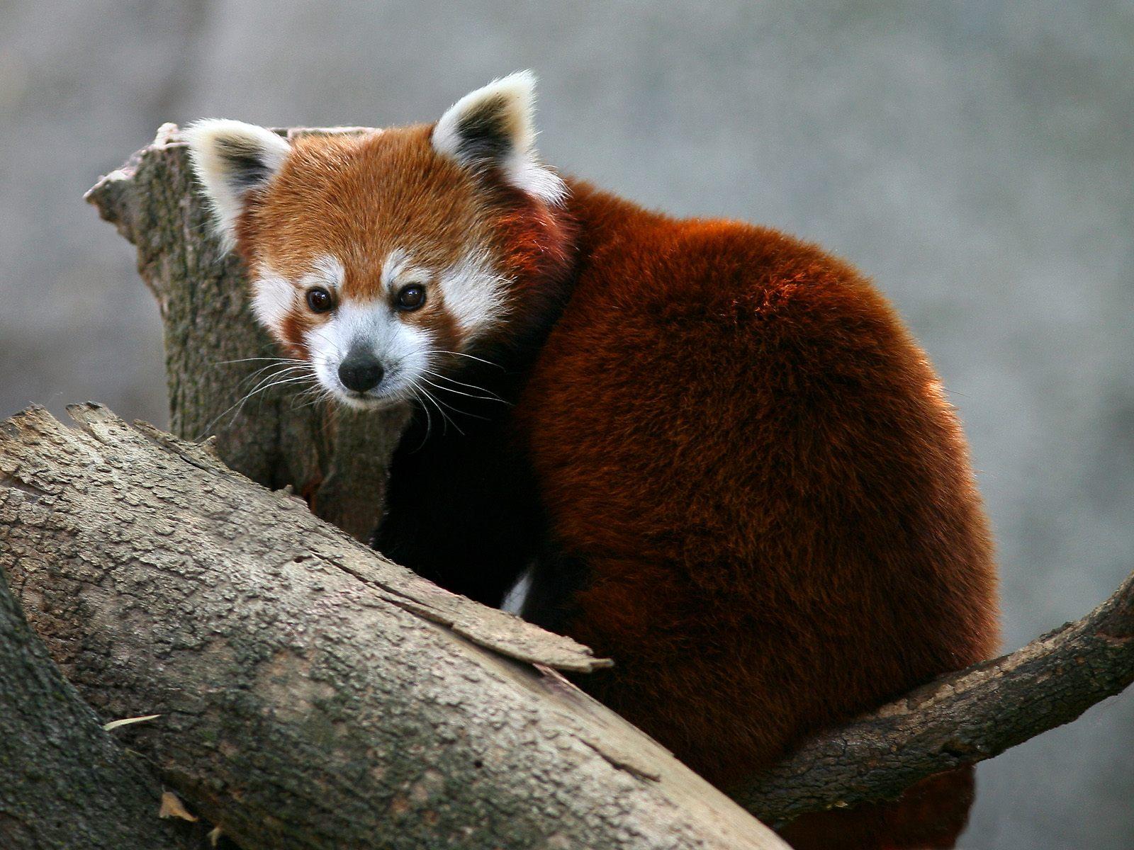 panda cute wildlife pandas animals rojo cool photographs