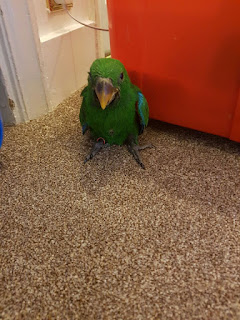 Parrots for sale Electus