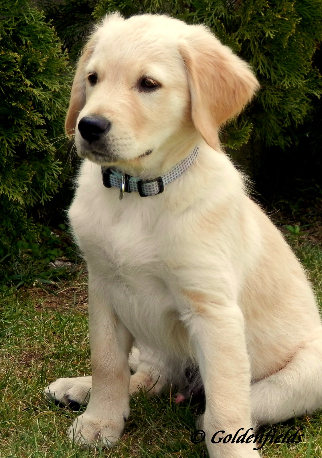 ein vier monate golden retriver