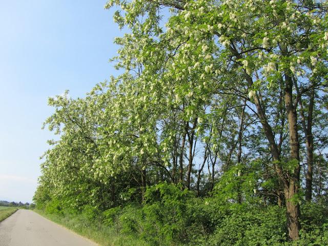Fioritura Robinia pseudoacacia