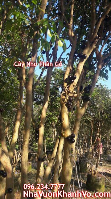 Đăng tin rao vặt: Một số điều cần biết về loại cây xuất xứ từ Nam Mỹ đang được ưa chuộng Cay-nho-than-go-gia-re-dep-tphcm