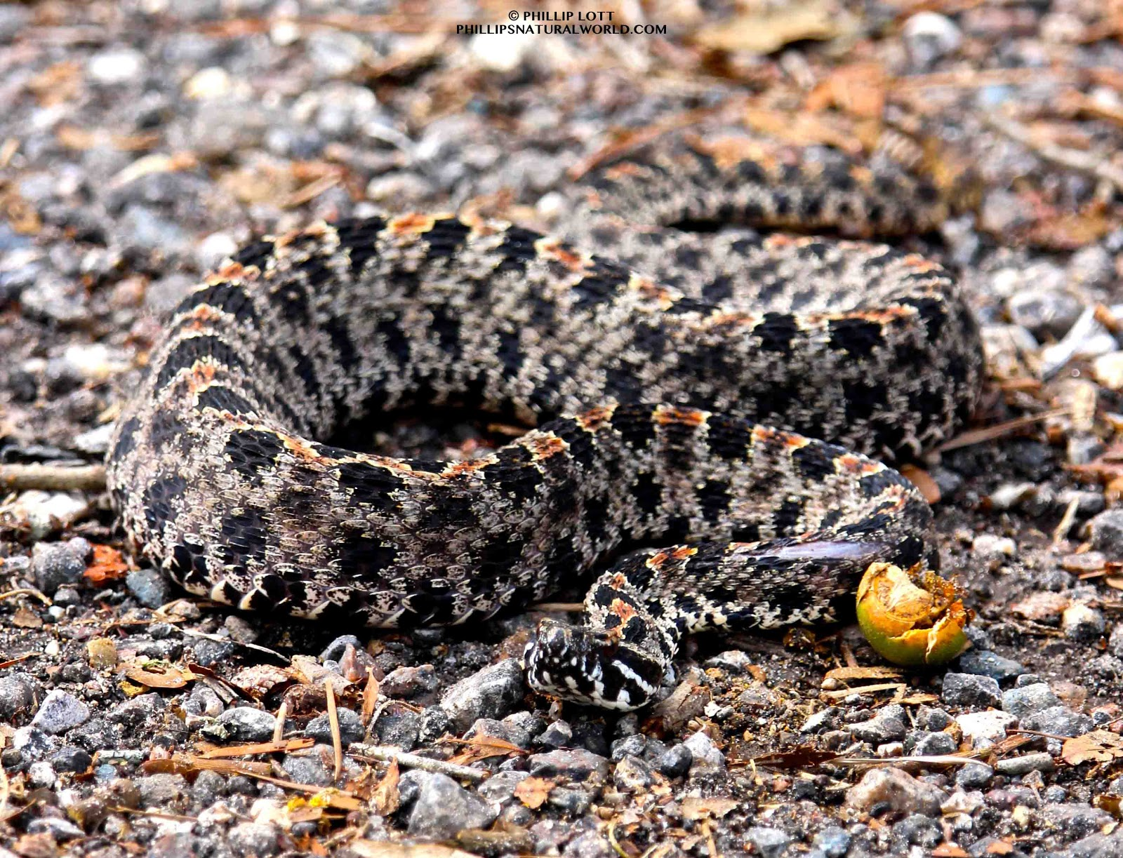 a855568c9548a Pygmy Rattlesnake | Phillip's Natural World