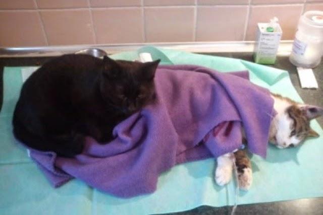 Rademenesa, el gato enfermero.