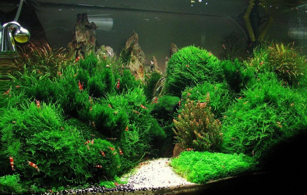Rêu lửa - rêu Flame cực kỳ ấn tượng trong bể thủy sinh