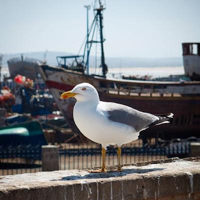 Gaviota en el puerto pesquero de Essaouira