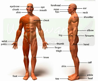 اجزاء جسم الانسان بالانجليزى