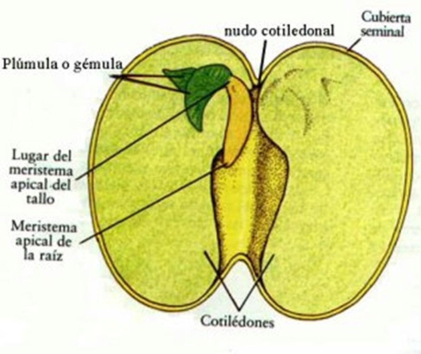 Ciencias naturales la germinacion - Semillas de interior ...